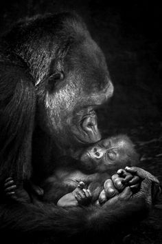 Gorilla kisses.