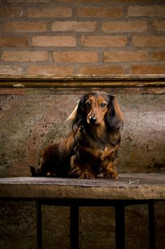 doxie portrait #cute #dachshund