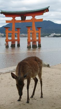 The shrine and a deer in Miyajima,Hiroshima,Japan