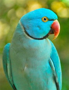 Our pan's won't hurt you or these beautiful birds. Dangerous fumes are generated by heating up non-stick pan coatings such as PTFE to birds. ~~Blue Ringneck Parrot ~ Queensland, Australia by peasticks~~ Tropical Birds, Exotic Birds, Colorful Birds, Pretty Birds, Beautiful Birds, Animals Beautiful, Simply Beautiful, Parrot Pet, Parrot Bird