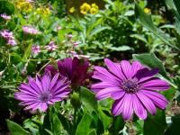 image of Purple Cape Daisy.jpg