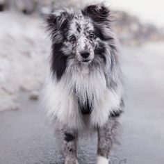 This adorable aussie puppy will warm your heart. Dogs are wonderful creatures. Aussie Puppies, Cute Puppies, Dogs And Puppies, Cute Funny Animals, Cute Baby Animals, Animals And Pets, Funny Dog Pictures, Cute Animal Pictures, Beautiful Dogs