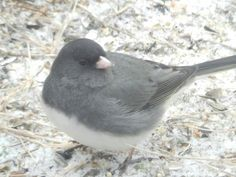 """One of the many """"resident""""   winter birds in my yard this year!  Love Juncos!!"""