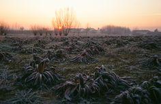 Radicchio Rosso Tardivo #campi #inverno #brina #albeggiare #radicchio