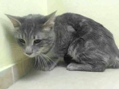 Please save Joby.doomed to die today at the Shelter . ACC shelter in New York City URGENT visit pets on deathrow on facebook New York City to save this friendly kitty.