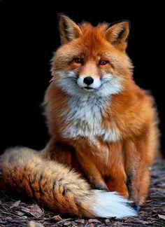 Red fox  www.SELLaBIZ.gr ΠΩΛΗΣΕΙΣ ΕΠΙΧΕΙΡΗΣΕΩΝ ΔΩΡΕΑΝ ΑΓΓΕΛΙΕΣ ΠΩΛΗΣΗΣ ΕΠΙΧΕΙΡΗΣΗΣ BUSINESS FOR SALE FREE OF CHARGE PUBLICATION