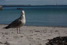 La vita in tenuta mimetica: gabbiano al freddo sole danese