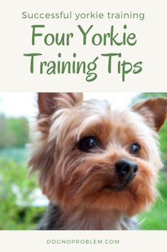 Yorkie Training Tips & Train Your Yorkie Dog At Best Articles!) Yorkie Training Tips – Train Your Yorkie Dog At Best Articles!) Source& The post Yorkie Training Tips – Train Your Yorkie Dog At Best Articles!) appeared first on JK Dog Supplies. Yorkies, Yorkie Puppy, Chihuahua, Beagle Puppy, Bulldog Puppies, Puppy Training Tips, Training Your Dog, Potty Training, Training Collar