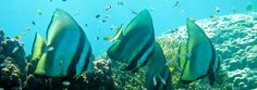 Batfish on the Great Barrier Reef thanks to Wings Diving Adventures