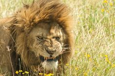Favourite big cat pictures in Lion vs Tiger Discussion Forum#.U2nLTFKKBD9