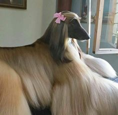 Why is this dog prettier than me?! Afghan hound
