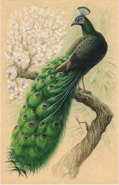 павлин, акварель, графика, птица, alkonost, watercolour, bird, graphics, peacock