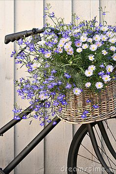 Blue lobelia and daises in bicycle basket