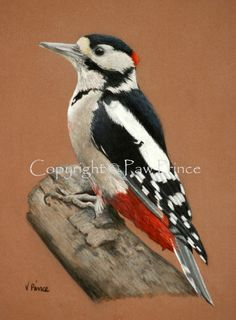 Great Spotted Woodpecker by Vicky Prince.  Polychromos pencils on pastelmat.