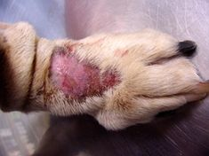HOW TO Treat Your Dog's Lick Granuloma #pethealth #dogtips