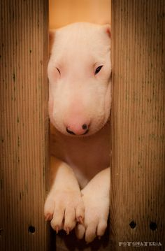 Squished bull terrier! This has actually happened to mine...silly rabbits!