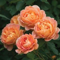 Rosa 'Lady of Shallot' Lady of Shallot English Rose from Prides Corner Farms