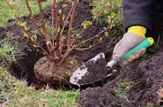 Pflege Maiblumenstrauch (Deutzia gracilis)