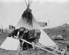 Work Moose Outside Native Indian Tepee 8x10 Reprint Of Old Photo