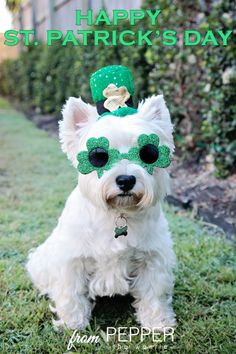 Happy St. Patrick's Day from Pepper The Westie www.facebook.com/PepperTheWestie #pepperthewestie #westhighlandwhiteterrier #westie