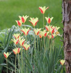'Tubergen's Gem' species tulips