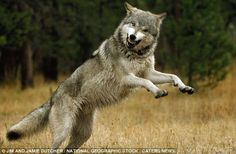 The Alpha Male Gray Wolf of the Sawtooth Pack - running and playing with the pack! Photo: Jim and Jamie Dutcher