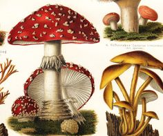 1897 antique MUSHROOMS fine lithograph, edible mushrooms and poisonous mushrooms, 115 years old gorgeous print.. via Etsy.