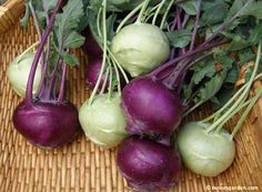how to plant and grow kohlrabi