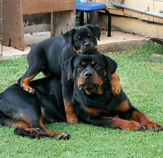 """Explore our web site for even more info on """"Rottweiler puppy"""". It is an excellen… Explore our web site for even more info on """"Rottweiler puppy"""". It is an excellent location to read more. Dog Training Methods, Basic Dog Training, Dog Training Techniques, Training Dogs, German Dog Breeds, Pet Breeds, Puppy Obedience Training, Positive Dog Training, Easiest Dogs To Train"""