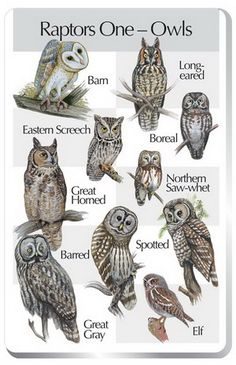 Raptors One (Owls) Barn Owl Eastern Screech Owl Great Horned Owl Barred Owl Great Gray Owl Long-eared Owl Boreal Owl Northern Saw-whet Owl Spotted Owl Elf Owl Please note: This songcard requires a Birdsong Identiflyer (#424a) in order to play songs.