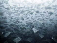 Impressive photo of hundreds of flying rays is one beautiful nightmare