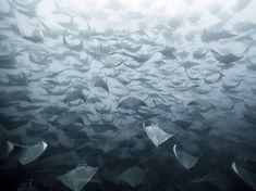 Cientos de mantas rayas nadan en grupo en aguas de Baja, México (Eduardo Lopez Negrete, 2014)