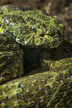 Mang Mountain Pit Viper--It is reputed to be the only species other than cobras known to spit venom.