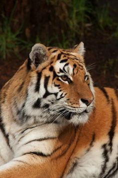 Wild Amur tigers are among the most endangered big cats on the planet: Fewer than 500 are believed to remain in their home range. The Amur tiger species derives its name from the Amur River, which runs through the region of southeast Russia to which this subspecies is native.