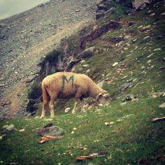 #sheep on the #hills in #kashmir #india #sonamarg