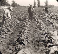 Cultivating young tobacco plants, near Lexington, Kentucky, probably around the 1930s. National Museum of American History
