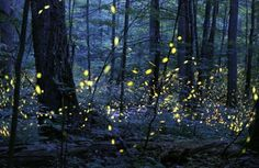 If you missed the chance to see the elusive synchronous firefly's amorous appearance in the Great Smoky Mountains National Park last year, get ready. Great Smoky Mountains, Paraiso Natural, Ghost Tour, Smoky Mountain National Park, Natural Phenomena, After Dark, Photo Contest, Mother Nature, Beautiful Places
