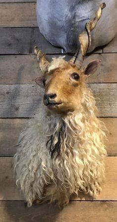 Stacked head of a racka sheep - Shouldermounts Stuffed head. Hunting trophy animals. Taxidermy - De Jachtkamer