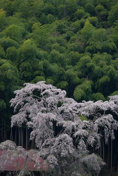 Cherry trees in Fukushima, Japan