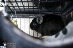 chinchilla cage accessories   great article highlighting some of the top accessories you can add to ladies fn   pets   pinterest   chinchilla cage chinchillas and ferret  rh   pinterest co uk