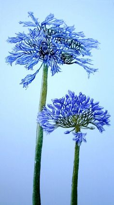 Agapanthus Botanical Etching with Aquatint by SallyWinterEtchings