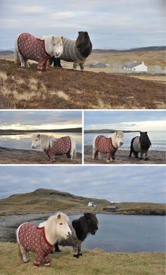 Shetland Ponies wearing Shetland 'jumpers'.  The stallion is called Socks, he once swam across a Loch to see a girlfriend.
