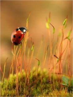Ladybug..Ladybug