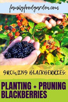 Blackberries are delicious. They also take a long time to produce, but they're worth the time and effort. It is a perennial plant. Family Food & Garden offers an easy to follow guide on how to plant, grow and prune this fruit. We begin with the initial planting and the vital care a new plant requires in the first two years. We cover different varieties. Some come with thorns others do not. Find out more here… #growingblackberries #plantingblackberries #blackberriesguide Best Blackberry, Pruning Blackberries, Healthy Fruits And Vegetables, Perennial Plant, Family Meals, Gardening Tips, Perennials, Herbs, Tips