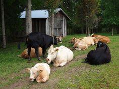 Runsastuottoisemmat ayshire ja länsisuomenkarja ovat vieneet alaa pohjoissuomenkarjalta. Kyseisen rodun lehmät tuottavat vähän maitoa, mutta ne ovat kestäviä, aktiivisia, uteliaita sekä rauhallisia.