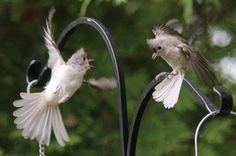 Titmouse Quarreling