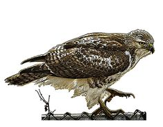 Red-tailed hawk illustration Red Tailed Hawk, Habitats, Birds, Illustration, Animals, Animales, Animaux, Bird, Illustrations