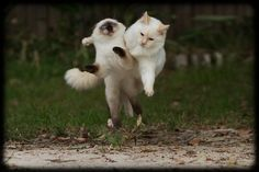 Fun in the Yard with Milo and Diesel (by Craig Jewell Photography) ragdoll