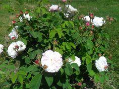 rose di #Statiano