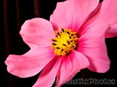 Cosmos blossom photograph of colorful pink by JantasticPhotos